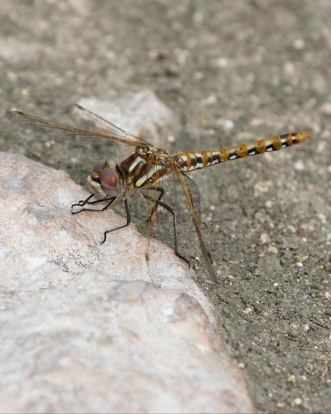 Variegated Meadowhawk