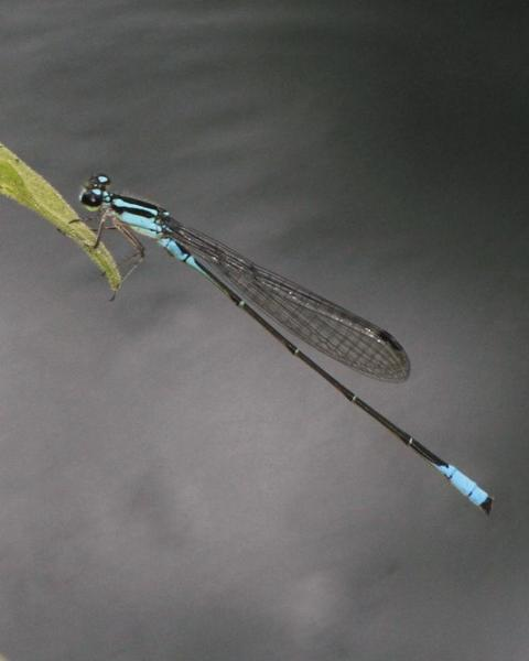 Mexican Wedgetail