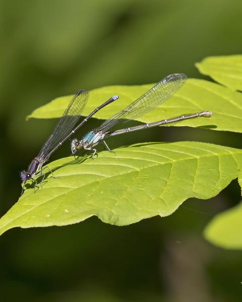 Blue-tipped Dancer
