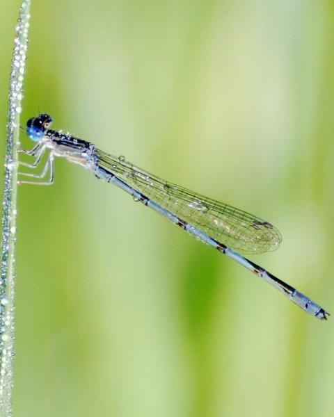 Double-striped Bluet