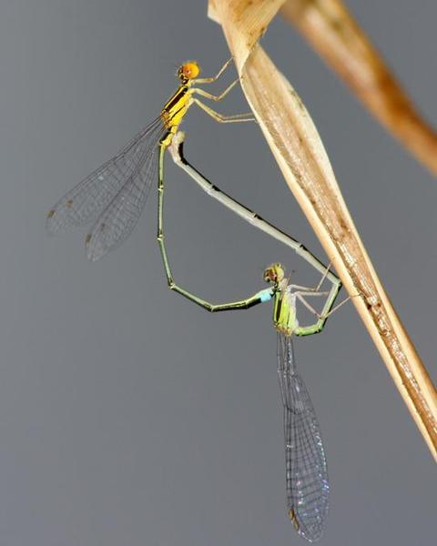 Golden Bluet