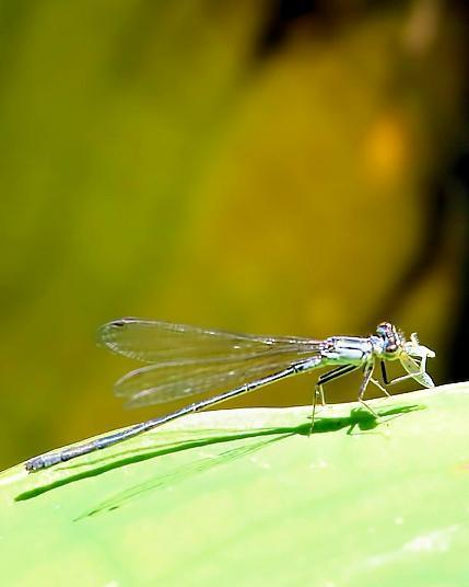 Pacific Forktail
