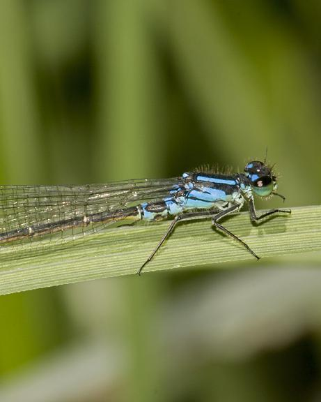 Swift Forktail