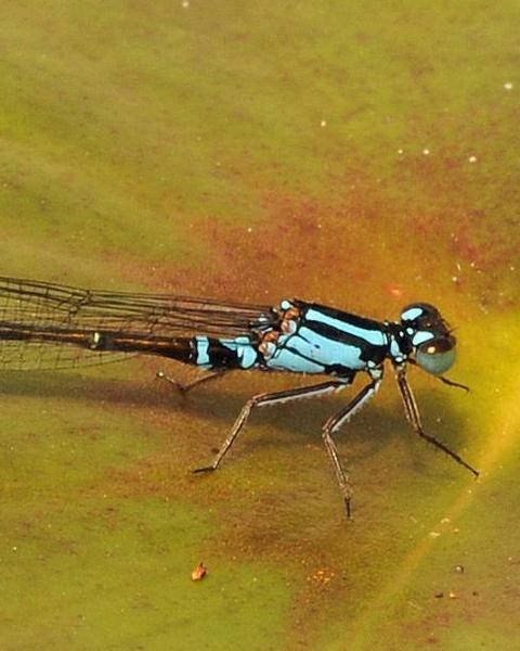 Lilypad Forktail