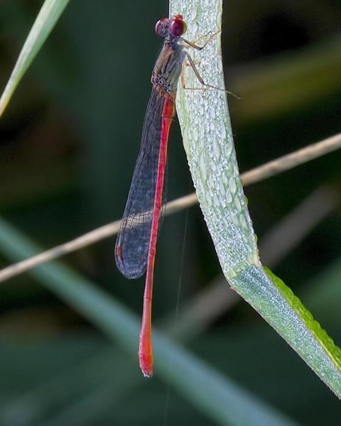 Marsh Firetail