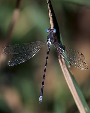 Spotted Spreadwing