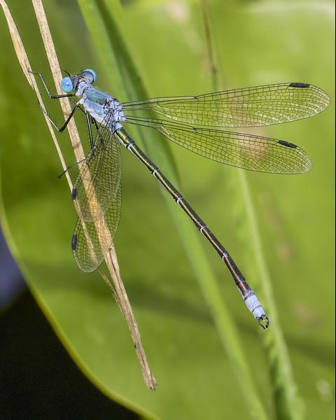 Amber-winged Spreadwing