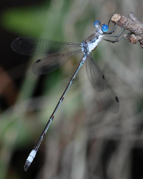 Chalky Spreadwing