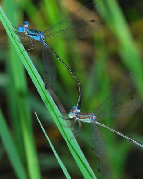 Blue-striped Spreadwing