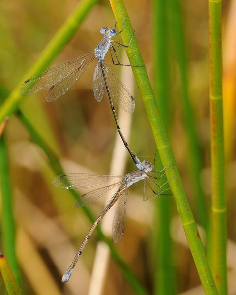 Carolina Spreadwing