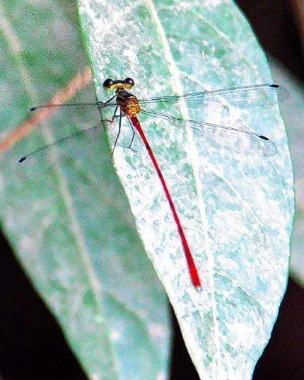 Heteragrion erythrogastrum