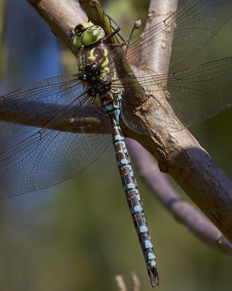 Green-striped Darner