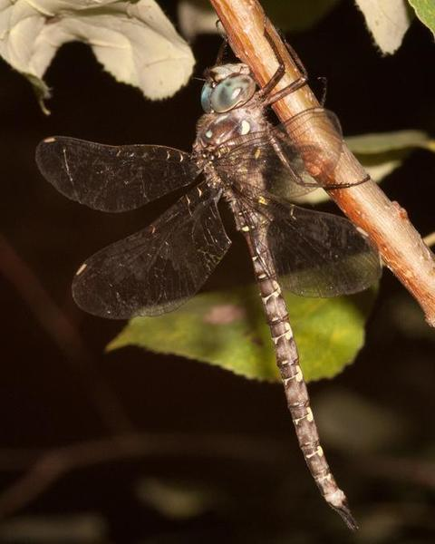 Ocellated Darner
