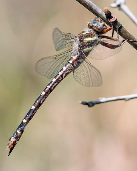 Twin-spotted Spiketail