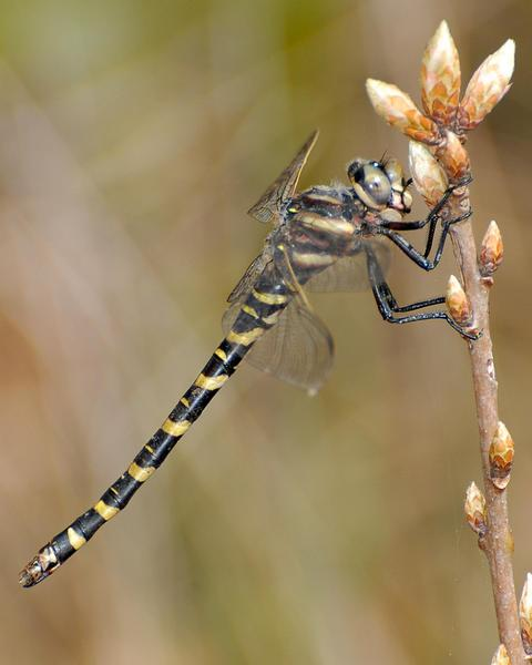 Say's Spiketail