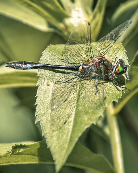 Racket-tailed Emerald