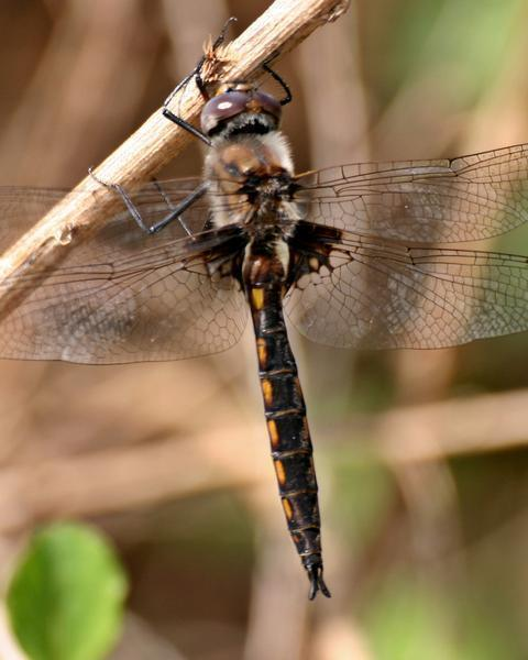 Common Baskettail