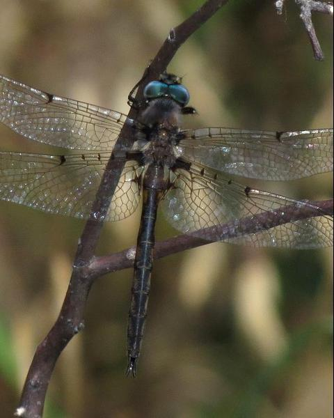 Dot-winged Baskettail