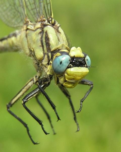 Horned Clubtail