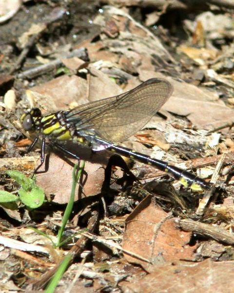 Spine-crowned Clubtail