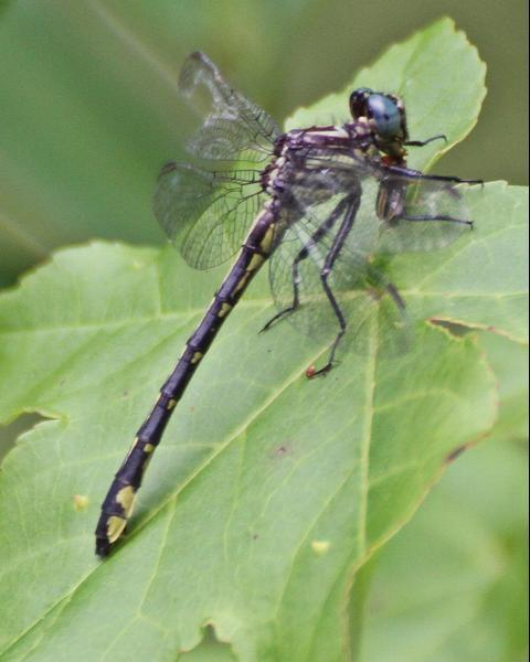 Twin striped Clubtail