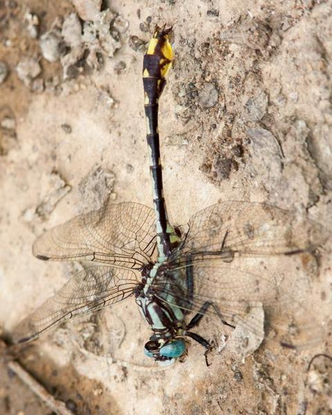 Tennessee Clubtail