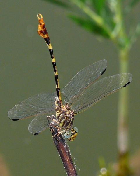 Four-striped Leaftail