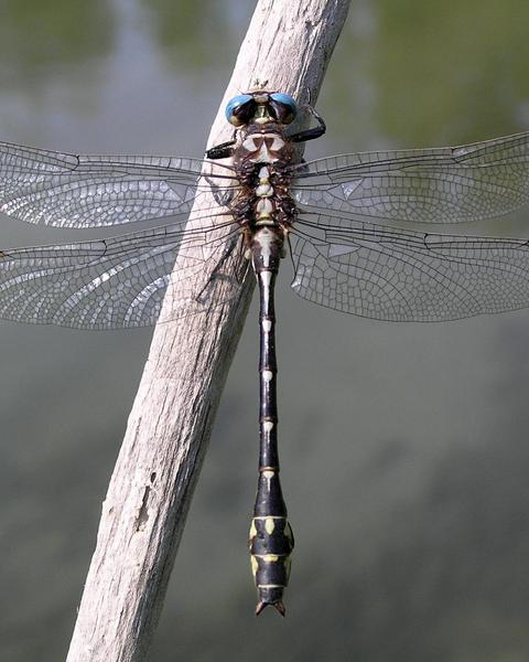 Olive Clubtail