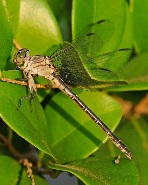 Townes' Clubtail