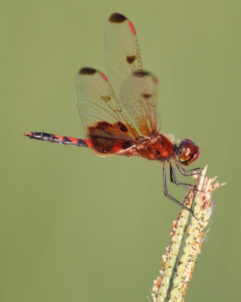 Calico Pennant