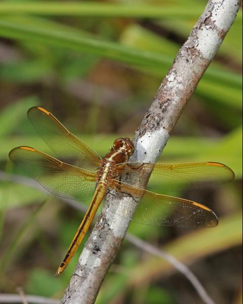 Golden-winged Skimmer