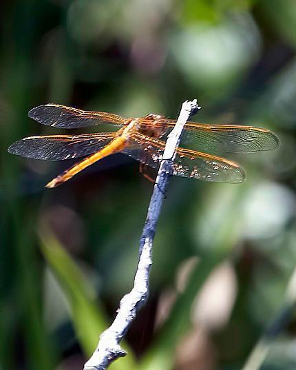 Needham's Skimmer
