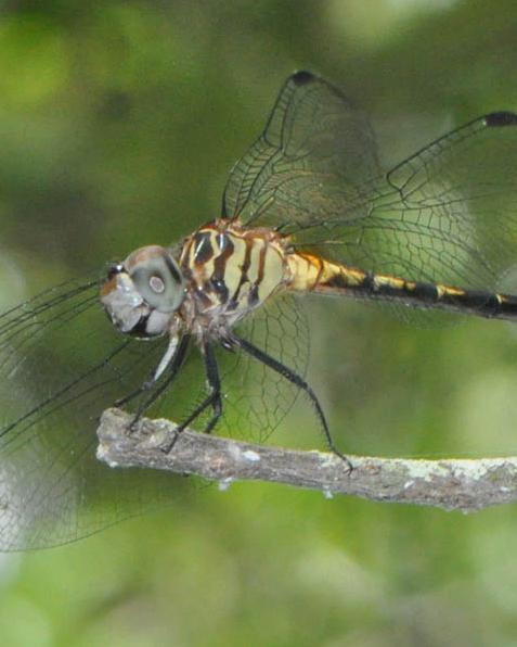 Three-striped Dasher