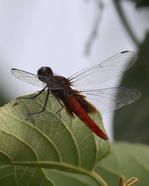 Mexican Scarlet-tail