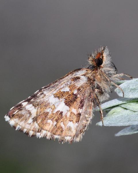 Two-banded Checkered-Skipper