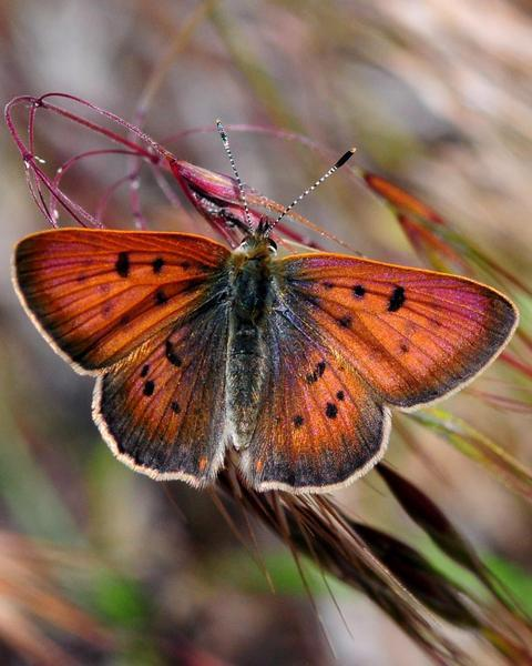 Purplish Copper