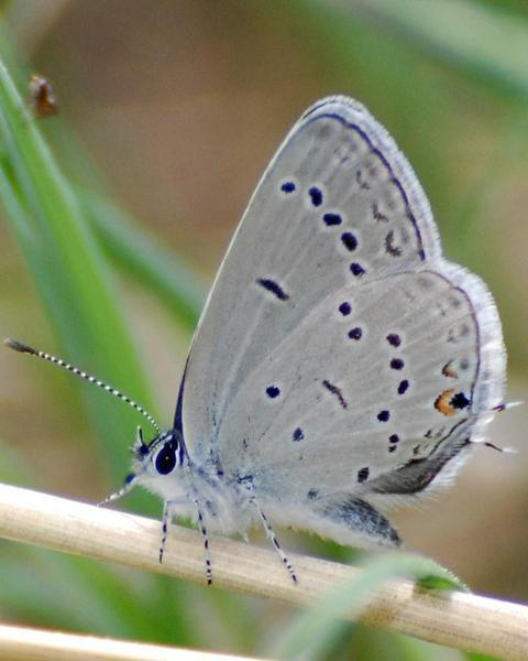 Western Tailed-Blue