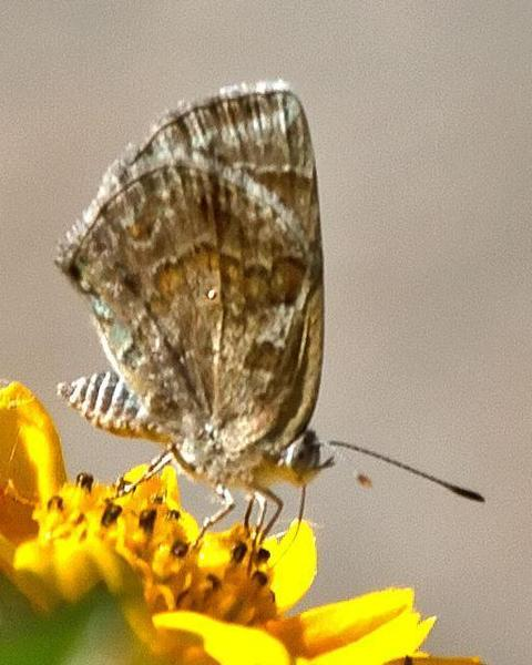 Lantana Scrub-Hairstreak