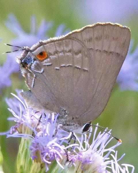 Strophius Hairstreak