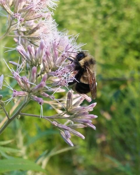 Rusty-patched bumble bee