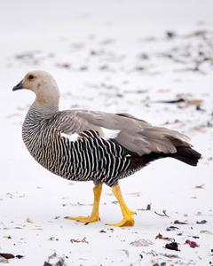 Upland Goose (White-breasted)