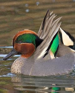 Green-winged Teal (intergrade)