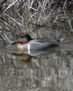 Green-winged Teal (American)