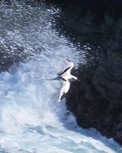 White-tailed Tropicbird (Pacific)