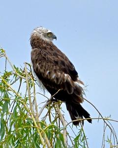 Short-toed Snake-Eagle