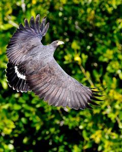 Common Black Hawk (Common)