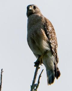 Red-shouldered Hawk (extimus)