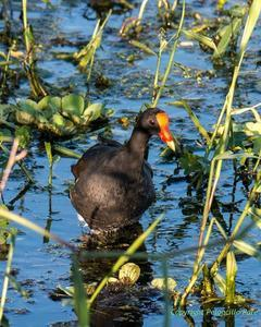 Common Gallinule (American)