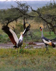 Gray Crowned-Crane