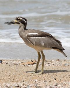 Beach Thick-knee